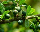 Sloes-to-be