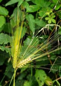 Escaped barley