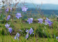 Harebells, grasses and Brown Clee