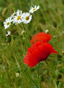 Daisies and poppies