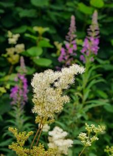Meadowsweet and willowherb