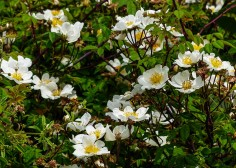 Hedgerow roses