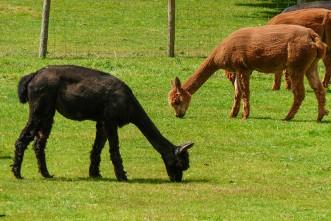 Alpacas (did you call me Sean?) ...