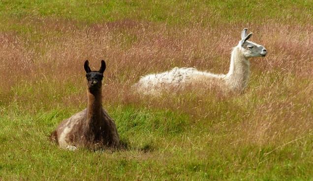 ... and Llamas