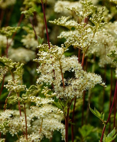 Meadowsweet on Round HIll