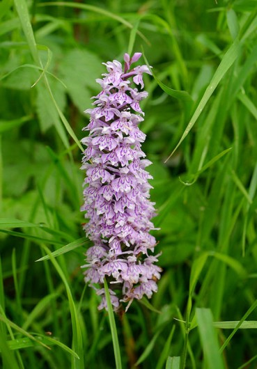 A tall common spotted orchid