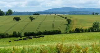 Cattle and Clee