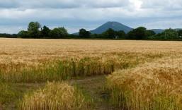 Barley field and Wrekin view