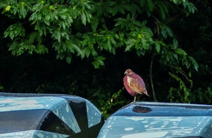 Roosting pheasant - but what's he standing on?
