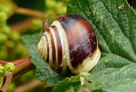 Small snail in the hedgerow