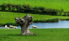 Sheep and stump