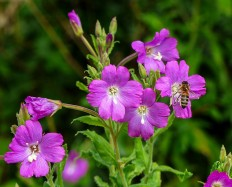 Willowherb and bee