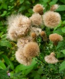 Even thistles have their fluffy side