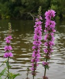 Purple loosestrife and the Severn