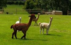 Arlescott alpacas