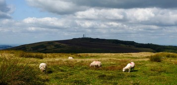 Four of the sheep