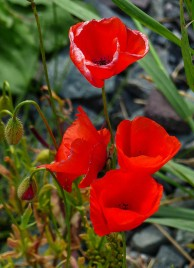 Poppies in the lane