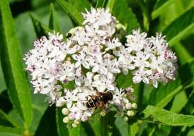 Eristalis nemorum (I think) - it's a hoverfly!