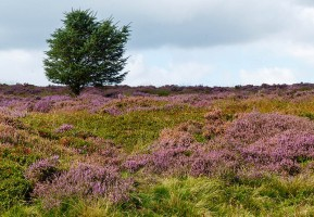 Bonnie blooming heather