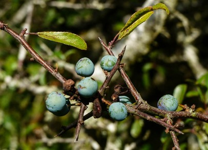 Sloes ripening