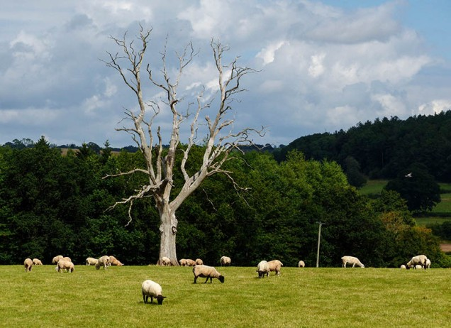 Dead tree and sheep