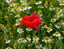 Poppy at the field's edge