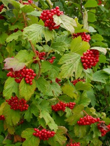 Berries on the guelder rose