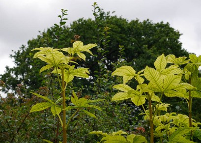 Chestnut leaves in the hedge