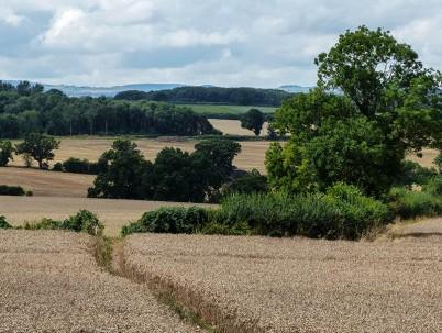Path through the corn