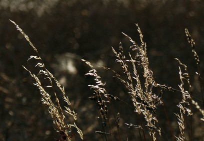Grasses in the breeze