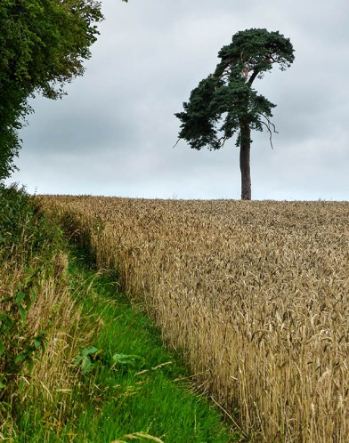 Wheat and pine