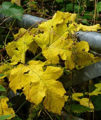Big yellow leaves