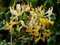 Honeysuckle in the hedgerow