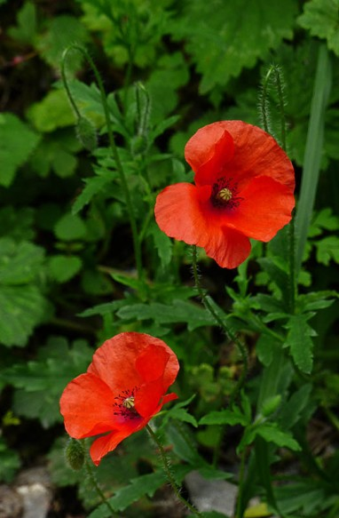 Poppies beside the track