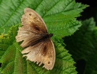 What a scruff! Ancient meadow brown