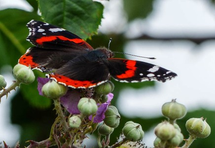 Camera-shy red admiral
