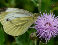 Green-veined white in Red Lane
