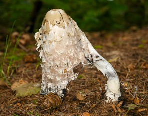 Shaggy ink-cap - almost gone