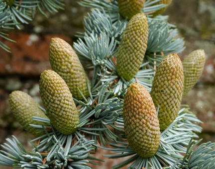 Pine cones in the Guildhall car park