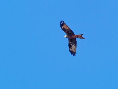 Red kite near Harnage Grange