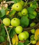 Apples in the hedge too!