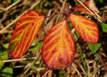 Red bramble leaves