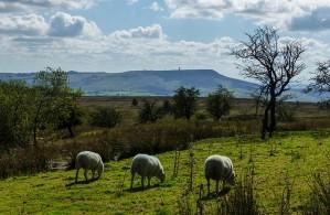 Well-arranged sheep