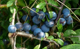 Sloes galore