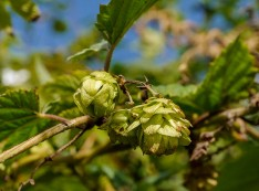 Hops in the hedge