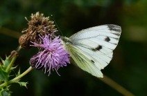 ... but this one didn't. Green-veined white