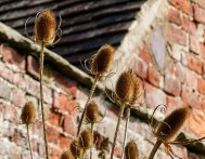 Teasels at Linley hall