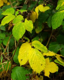 Fading leaves of brambles...