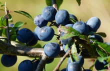 Sloes galore!