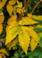 Leaves of meadowsweet